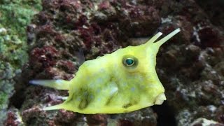 Longhorn cowfish, yellow tang, clown, scooter blenny, spotted hawk,Lunar wrasse