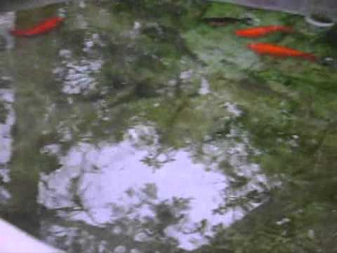 Crianza de carpas y tilapias en estanque peque o youtube for Reproduccion de tilapia en estanque