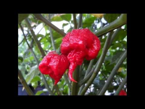 Top 5 World's Hottest Peppers (2015)