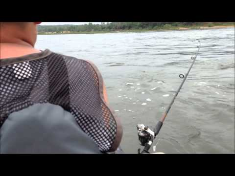 STRIPER fishing with umbrella rig on NUCANOE- 247 OutDoor Addiction