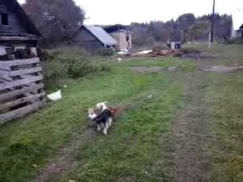2013 собаки, осень