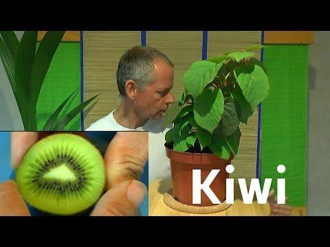 Kiwi vom Samen zur Pflanze