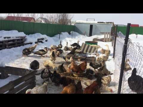Выращивание индоуток на мясо для себя 287