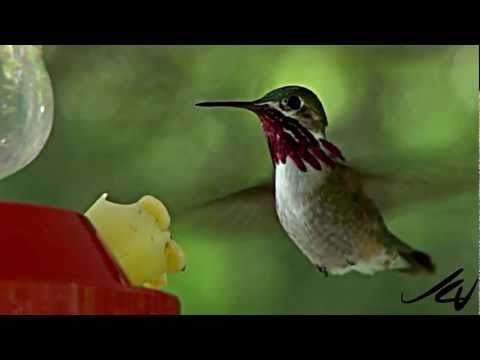 Hummingbirds Slow Motion HD ~ Calliope & Rufous : Adult Male Rufous, Adult ...