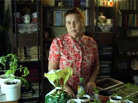 Посадка перца на рассаду: подготовка семян и правильный уход