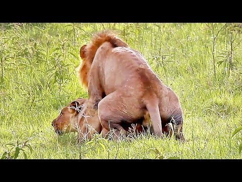 Wild Lions Mating in Africa! Video thumbnail