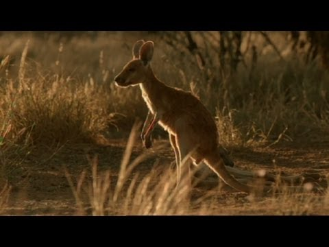 The Kangaroo Song - Natural I A Kangaroo Song