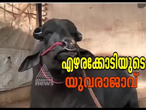 Yuvraj, the biggest buffalo in Asia | Haryana | Akalangalile India 4th March 2015