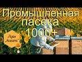 Промышленная пасека Молдовы в 1000 семей & Apis Sacara