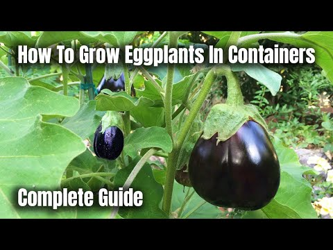 Eggplant Black Beauty, Japanese & White - Growing Guide & harvest