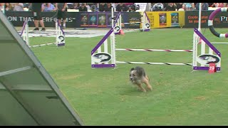 Small Dog Agility Competition - 2016 Purina® Pro Plan® Incredible Dog Challenge® Western Regionals