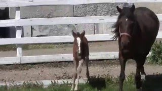 Spring Red Fox Foals