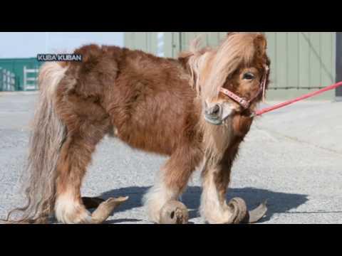 Жесть. 10 лет без подрезки копыт. Ветеринары спасли пони!