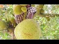 How To Cut Up Jackfruit Natural 4m Jack Fruit Tree Health Benefits Of Ripe Jakfruit Rural Food mp3