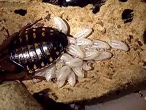 Blaptica Dubia roach giving birth