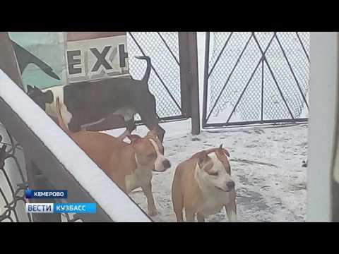Кемеровчан пугают бойцовские собаки соседей