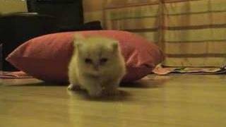 Red Persian Kitten - 1 Month Old - KittyREC.Com