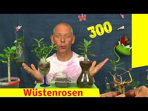 Wüstenrose Adenium obesum Anzucht