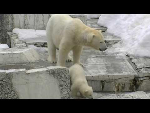 ホッキョクグマの赤ちゃん 階段を降りる〜Polar Bear Baby
