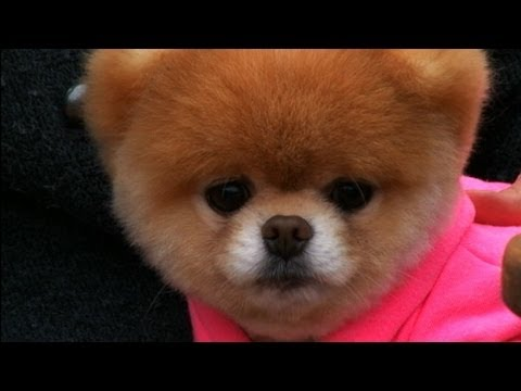 Boo's Big Vacation: World's Cutest Dog Takes San Francisco