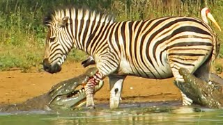 Zebra Escapes the Jaws of 2 Crocodiles