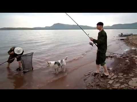 ловля сазана в хакасии видео
