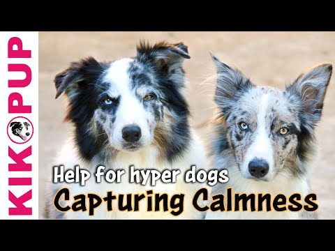 0 Capturing Calmness  help for hyper dogs dog training