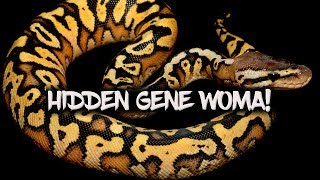 The basics of the 'Hidden Gene Woma' ball python morph
