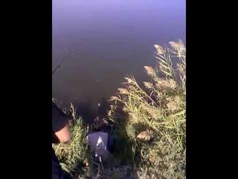ловля толстолобика на планктон видео