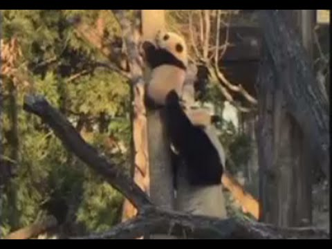 Panda Yavrusunu Ağaçtan Böyle İndirdi - Mother panda 'coaches' cub down from tree