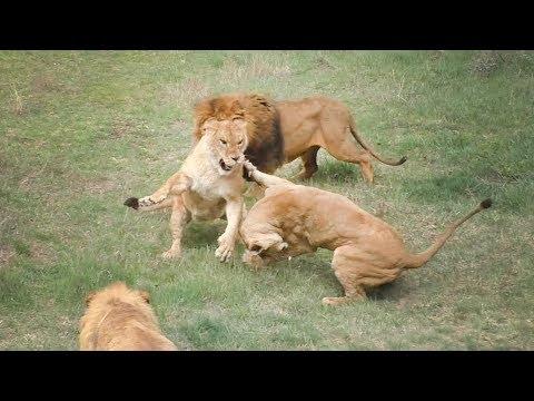 Львицы выясняют отношения   Lionesses find out the relationship.