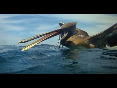 Incredible footage of pelicans diving - Earthflight (Winged Planet)