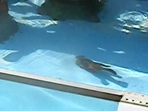 泳ぐ子ビーバー