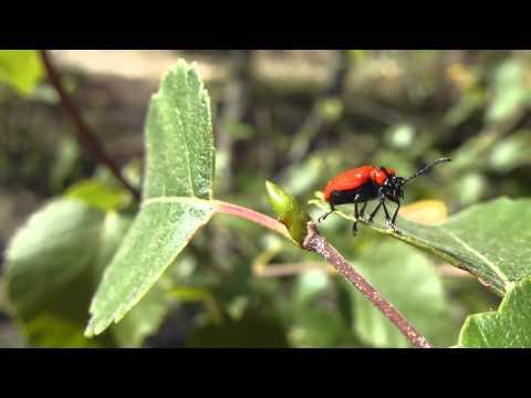 Lily beetle - Lilioceris lilii - Rauð Liljubjalla að þvo sér  - Skordýr  - Bjöllur