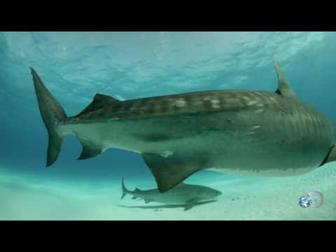 How to Dive with Tiger Sharks