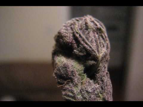 GRAND DADDY PURPS ~ PURPLE MARIJUANA WEED Video