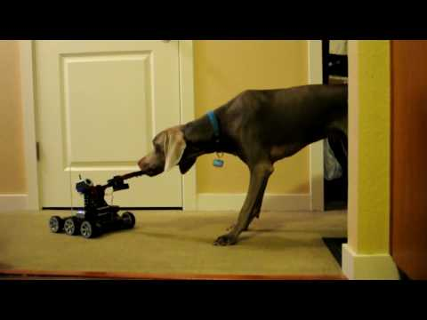 Weimaraner vs Robot for treat