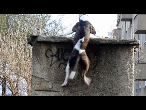 Pitbull Does Amazing Parkour