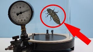 Experiment!!! Madagascar Cockroach Reaction to Vacuum!!!