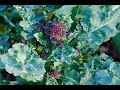 HOW TO PLANT AND GROW   PURPLE SPROUTING BROCCOLI AND ROMANESCO