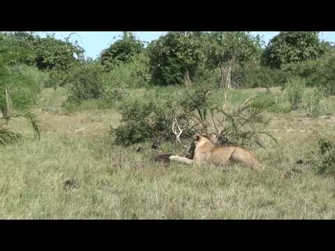 Duba Plains lion pride kill a cape buffalo calf - Part 3 (HD Version)