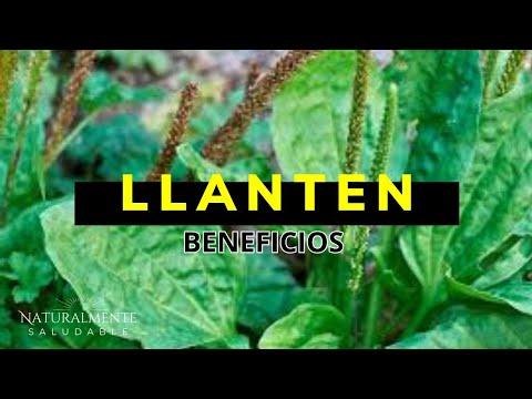 Llanten para que sirve - hoja de llanten planta medicinal, beneficios y propiedades thumbnail