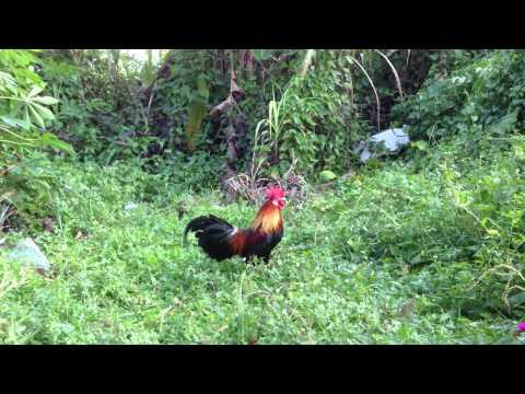 pikat ayam hutan grade A Peter Chai