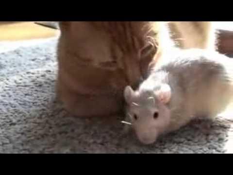 天敵じゃなかったの?!猫が大好きなネズミ