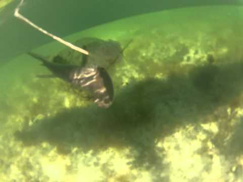 Kayak Fishing for Bonnetthead sharks in Big Pine Key, Florida.