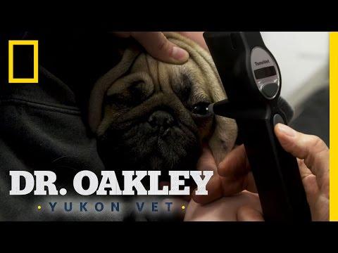 Painful Puggy Eyes   Dr. Oakley, Yukon Vet