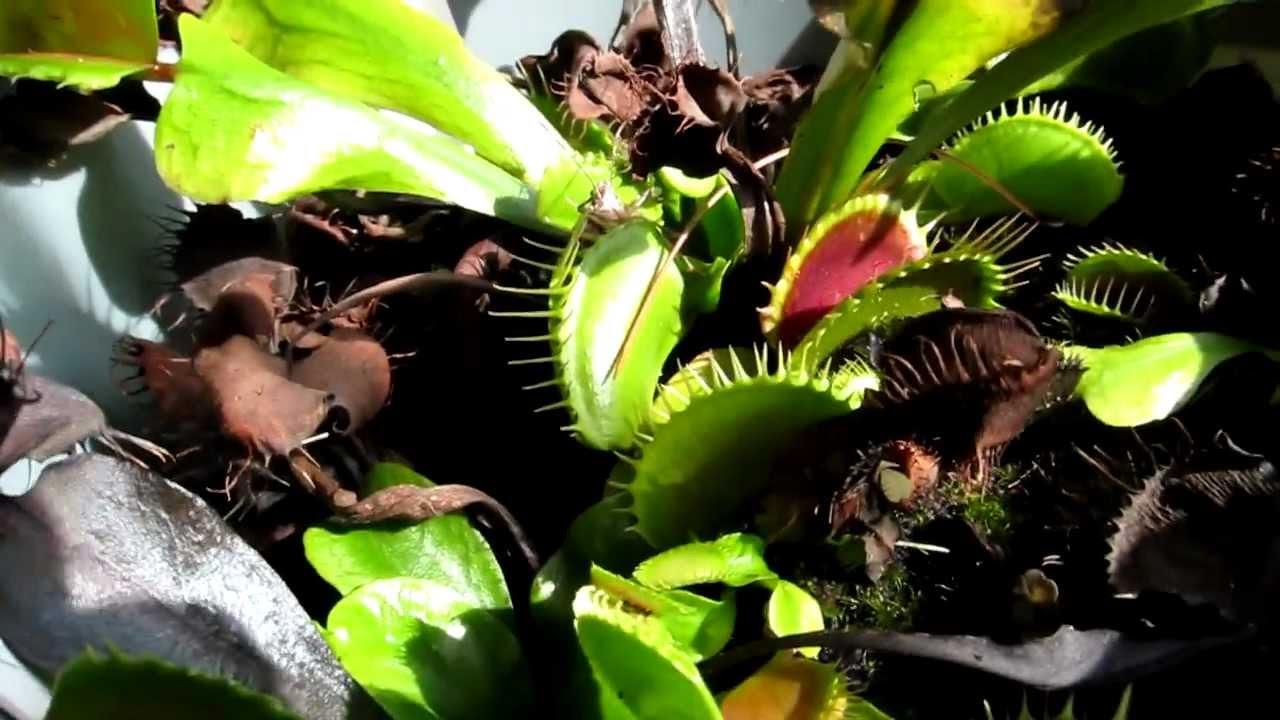 Giant venus fly trap plant