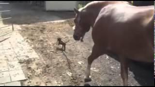 馬の手綱を引くお手伝い犬発見♪