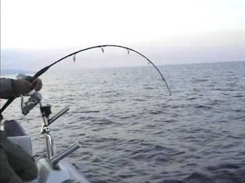 ricciola a vertical jigging 28 kg