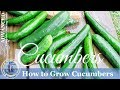 HD How To Grow Cucumbers Vertically On A Trellis mp3
